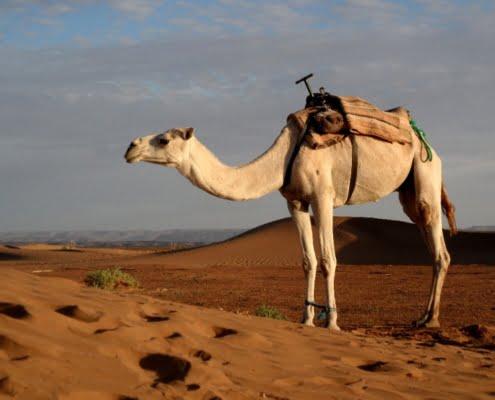 Dromedaris voor Dummies- Mooie Marokko Verhalen-klein